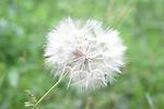 flor, flo, flower, blanc,weib,