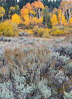 Grand Teton National Park, Wyoming: Autumn colors of aspen, willows and sage in the Snake River valley