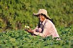 Sim Saroum harvests cucumbers in the Cambodian village of Talom.