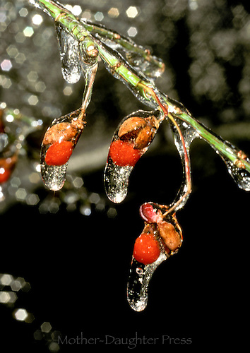 Euonymous seeds (burning bush) in ice glaze after a winter storm