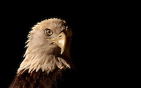 A Bald Eagle in a rehab facility in Ponce Inllet, FL.  (Photo by Brian Cleary/www.bcpix.com)