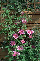 Clematis 'Piilu' in single pink and red striped flowers showing medium view of vine climbing wall trellis fence with blooms and leaves, entire plant