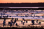 Chincoteague Natl Wildlife Refuge (Assateague Island, Virginia, Birds, Geese, Nature, Water)