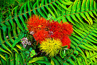 The ohia blossom in multicolors, (metrosideros collina). Also known as the vuga (fiji islands), anume (samoa).