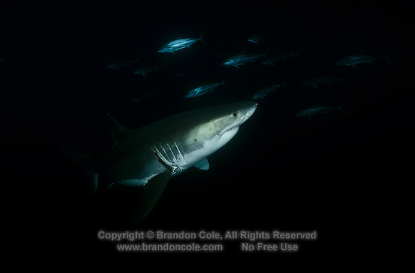 TE1748-D. Great White Shark (Carcharodon carcharias), a 13 foot long ghost glides almost invisibly through dark waters before dawn, with Yellowtail Amberjacks (Seriola lalandi) in the background. Guadalupe Island, Baja, Mexico, Pacific Ocean.<br /> Photo Copyright &copy; Brandon Cole. All rights reserved worldwide.  www.brandoncole.com