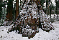 Snow dusting on giant sequoia trees in the Mariposa Grove of Yosemite National Park.<br />