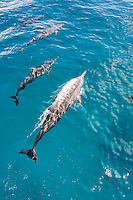 Bottlenose dolphins in the Bismarck Sea, PAPUA NEW GUINEA . Photo: Joli