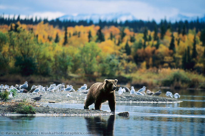 Coastal brown bear, Naknek Lake, Katmai National Park, Alaska