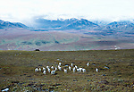 Dall sheep herd, Denali National Park, Alaska
