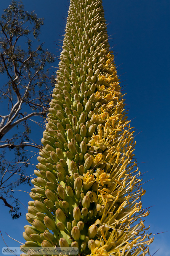 The Agave inflorescence was half in flower the afternoon this was taken.  Agave vilmoriniana, octopus agave.