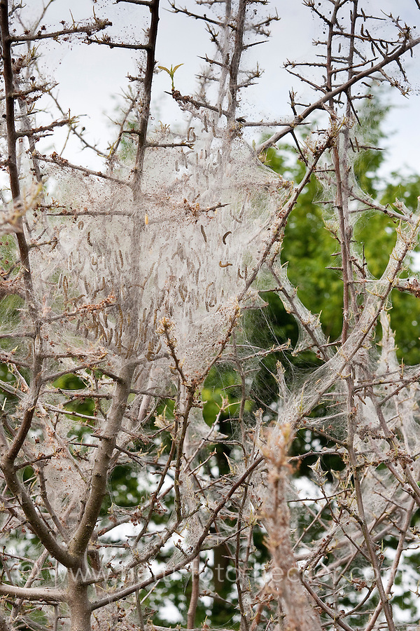 Pflaumen-Gespinstmotte, Raupen haben Schlehenbusch, Schlehe komplett eingesponnen und kahl gefressen, Pflaumengespinstmotte, Zwetschgen-Gespinstmotte, Zwetschgengespinstmotte, Gespinstmotte, Yponomeuta padella, Yponomeuta padellus, Hyponomeuta padellus, Orchard Ermine, common hawthorn ermel, small ermine moth, Gespinstmotten, Yponomeutidae