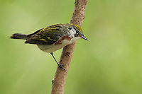 The Chestnut-sided Warbler is distinctive in appearance. No other warbler combines a greenish-yellow cap, a white breast, and reddish streaks down the sides. Female.
