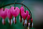 Bleeding hearts on a branch with a blurred green background