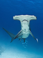 RR1756-Dv. Great Hammerhead Shark (Sphyrna mokarran), feeds on stingrays on the sand bottom, broad head has special sensory cells on underside. Bahamas, Atlantic Ocean.<br /> Photo Copyright &copy; Brandon Cole. All rights reserved worldwide.  www.brandoncole.com
