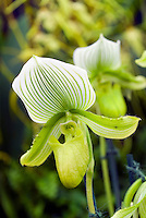 Paphiopedilum Maudiae orchid