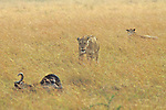 Lioness Approaching Wildebeest