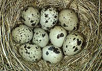 Wachtel, Ei, Eier, Gelege im Nest, Coturnix coturnix, quail