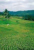 Indonesia, Bali, mature rice in paddies.