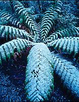 Tree fern in snow  Cradle Mountain Lake Sinclair National Park, Tasmania. Asutralia   Cyatheales sp.