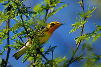 591450003 a wild male blackburnian warbler dendroica fusca on south padre island texas united states