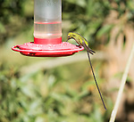 Male black-tailed trainbearer hummingbird, Lesbia victoriae, perched on a feeder near Nono, Ecuador