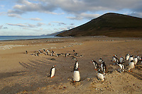 Gentoo Penguins (Pygoscelis papua) breed in small  colonies between August and March, Falkland Islands.