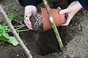 Planting out runner bean seedlings. Sequence 1, image 2 of 5.