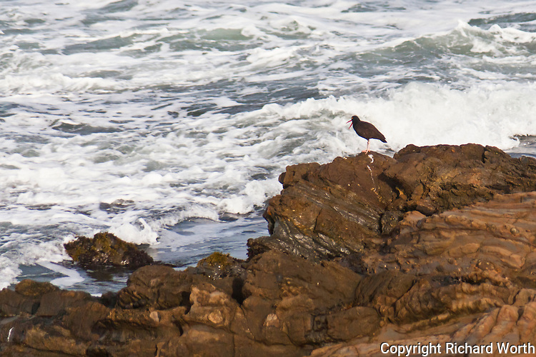 A Black oystercatcher stands on rocks facing the incoming surf with its distinctive red bill open.