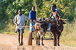 Young Mozambicans walking and riding with their cattle cart, Panda, Inhambane Province, Mozambique