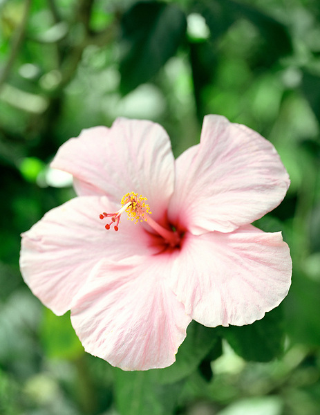 A  close up of a pink hibiscus flower.Edmund Forest Reserve. St Lucia.