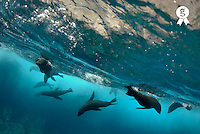 Sea lions (Zalophus californianus), underwater view (Licence this image exclusively with Getty: http://www.gettyimages.com/detail/200476777-001 )
