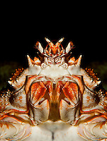 Japanese Spider Crab close-up of ventral head (acrocheira kaempferi)