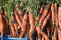 Freshly harvested carrots with dirt clinging to the roots at Everdale organic farm, near Toronto, Ontario.