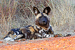 Africa, South Africa, Madikwe Private Game Reserve. The African Wild Dog, also known as Painted Wolf or Cape Hunting Dog, re-introduced at Madikwe Game Reserve in South Africa.