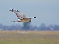 A male northern harrier, or marsh hawk, soaring over a crop field in search of prey. Near Stuttgart, Arkansas.