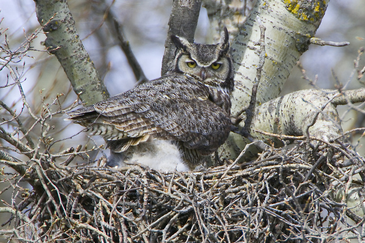 Great-horned Owl sitting on the nest with owlets.
