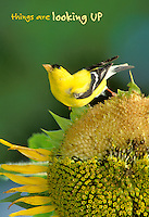 Things are looking up: Health and optimism with goldfinch on a sunflwer full of seeds