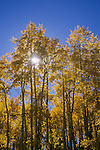 Backlit quaking aspens (Populus tremuloides), Gunnison National Forest, Colorado