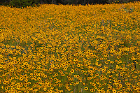 Spring Coreopsis wildflowers in bloom