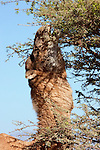 Dromedary (camel) eats from a acacia tree, Sahara desert, Morocco.