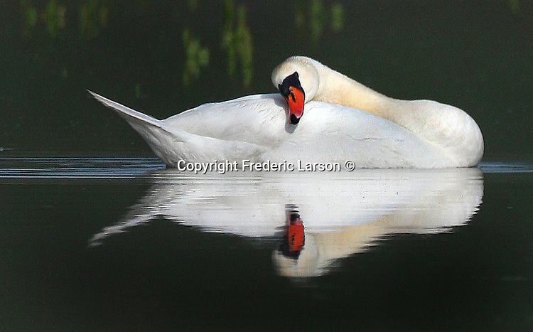 A swan rests on his body while floating on a pond in Napa Valley, California.