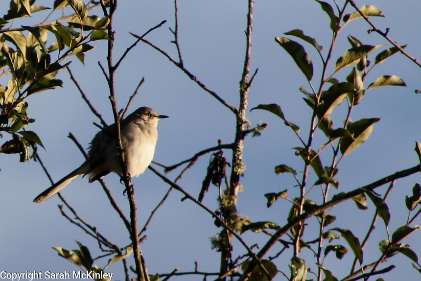 A Northern Mockingbird perched in an apple tree facing the sunset outside Willits in Mendocino County in Northern California.