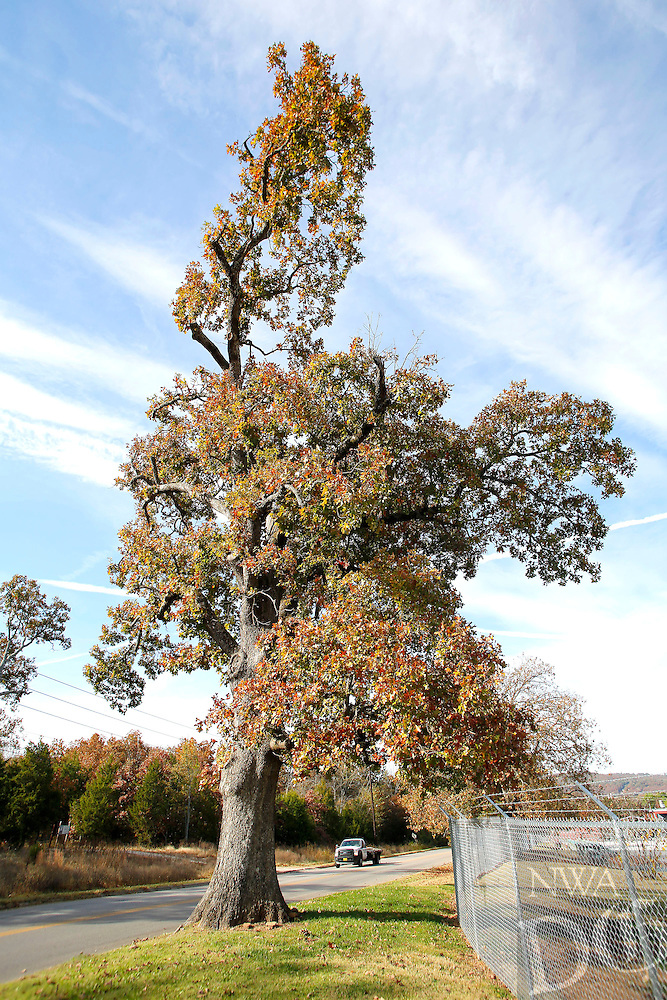 NWA Democrat-Gazette/DAVID GOTTSCHALK  The more than 150 year old White Oak Tree Monday, October 26, 2015, on South Armstrong Avenue in Fayetteville. Kathryn Scherer, of Fayetteville, is seeking donations towards watering and caring for the tree.