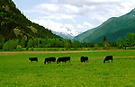 Washington: North Cascades, Angus Cattle along Skagit River, photo: wanort101  .Photo copyright Lee Foster, www.fostertravel.com, 510/549-2202, lee@fostertravel.com