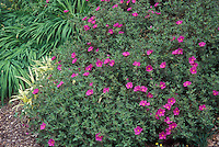 Cistus x pulverulenta 'Sunset' in garden border