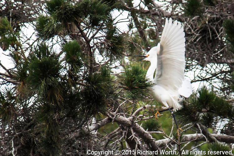A Snowy egret appears to prance as it moves from one limb to another in a nesting tree in an urban neighborhood.