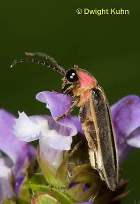 1C24-743z    Pyralis Firefly, Lightning Bug Male,  Photinus spp.