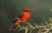 Vermilion Flycatcher (Pyrocephalus rubinus), Arizona, USA.