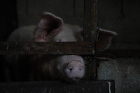 Pigs at a pig farm in Ilocos Norte, Philippines..**For more information contact Kevin German at kevin@kevingerman.com