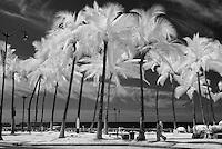 Infrared palm trees along Kalakaua Avenue in Waikiki.
